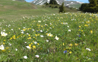 saftige Alpwiese im Sommer