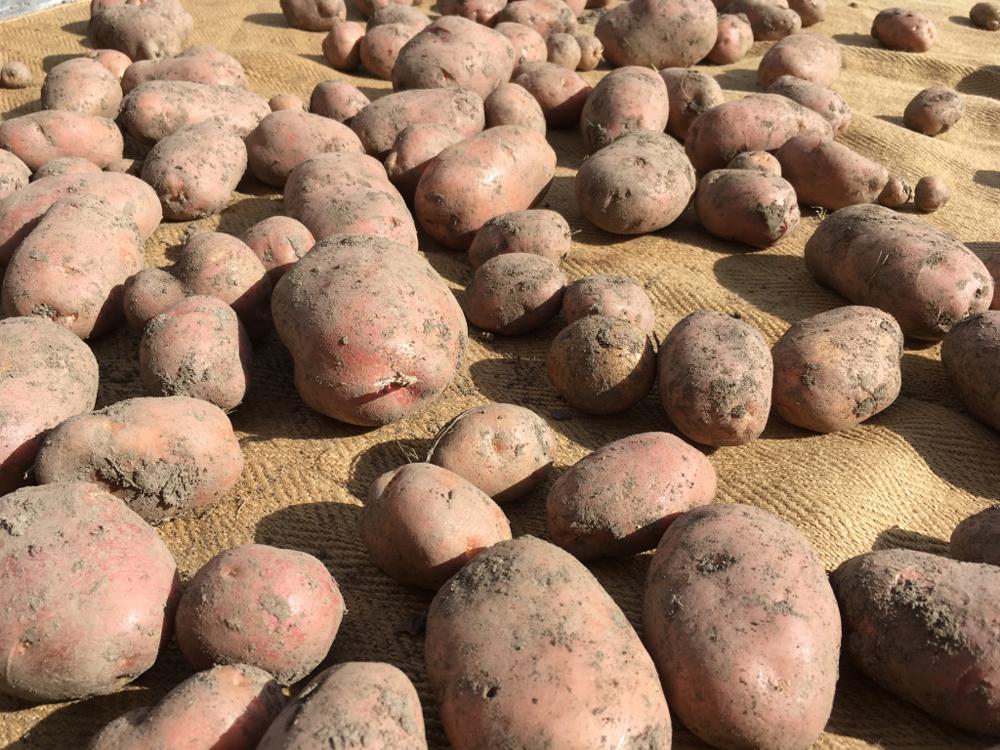 Reichhaltige Kartoffelernte